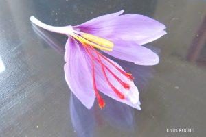 fleur crocus sativus exceptionelle